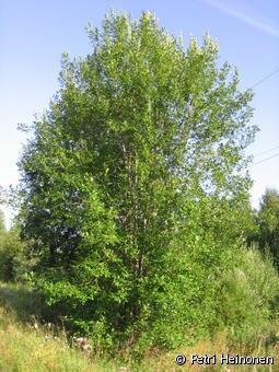 Puu esimerkkilajit